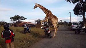 Watch: Randy giraffe tries to make love to a GS