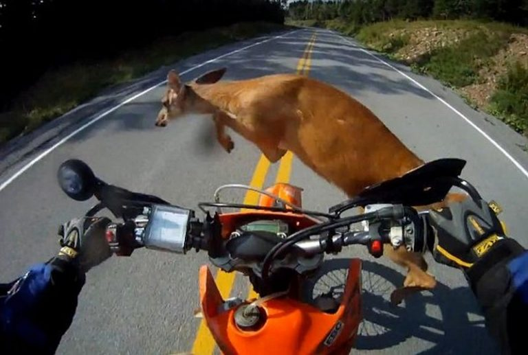 A deer jumping in front of a motorcyclist
