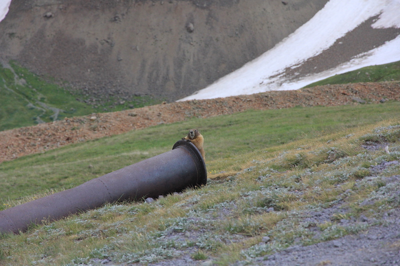 Cheeky Marmot