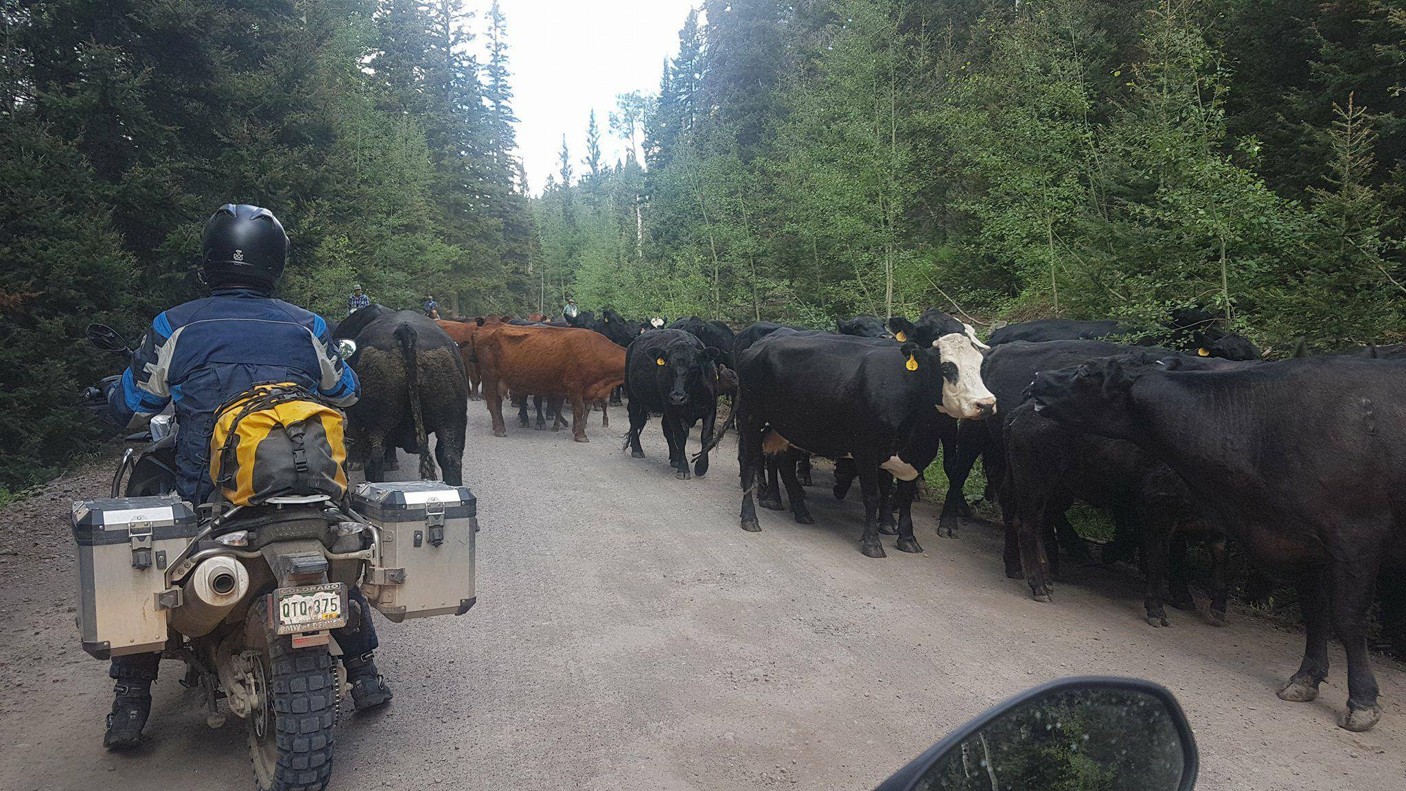Head to head with cattle on Owl Creek Pass