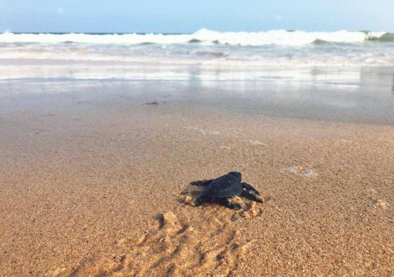 Motorcycle tour of Sri Lanka. Wildlife. Turtle.