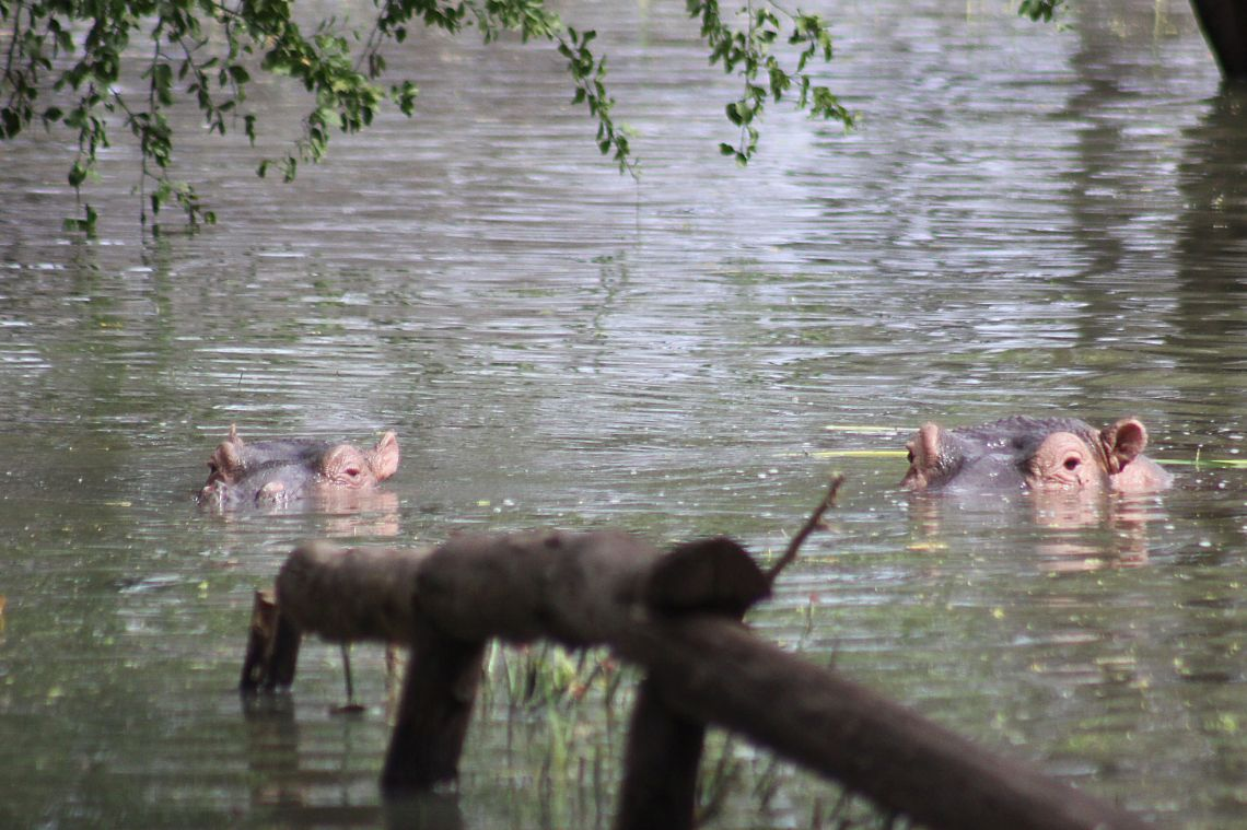 Hippo in floods by day Baringo