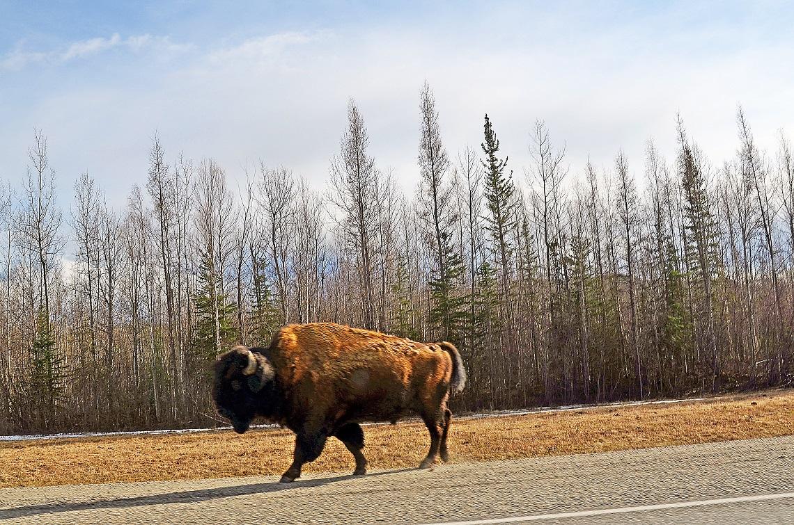 Roadside buffalo